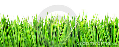 Wet grass on white background