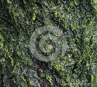 Wet green algae