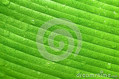 Wet green banana leaf