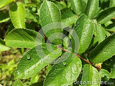 Wet green flower leaves.