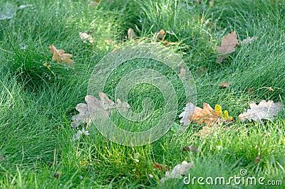 Wet Green Grass with Fallen Oak Leaves