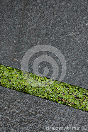 Wet green grass growing between stone