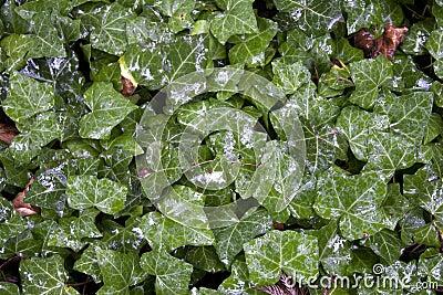 Wet Green Leaf Background