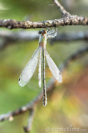 Wet hanging dragonfly