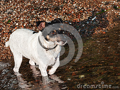 Wet Jack Russell Terrier on the beach near sea water.