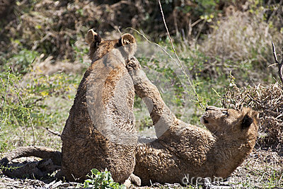 Wet Lion Cubs Playing