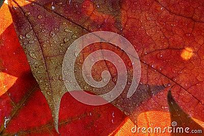 Wet maple leaves
