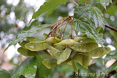 Wet Maple Seeds