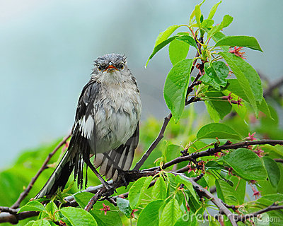 Wet Mockingbird in Tree