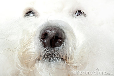 Wet nose of a bichon