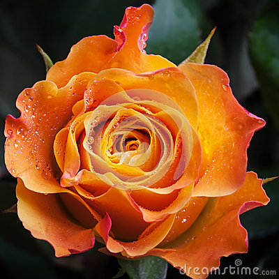 Wet orange and red rose flower close-up