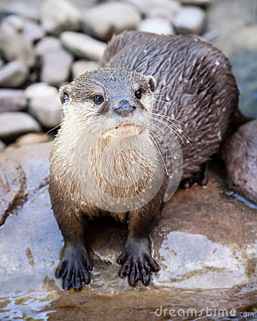 Free Wet Oriental Small-clawed Otter Standing In Riverbed On Rock Royalty Free Stock Photo - 45874585
