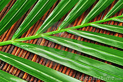 Wet palm leaves