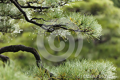 Wet Pine Tree Stock Image - Image: 25252791