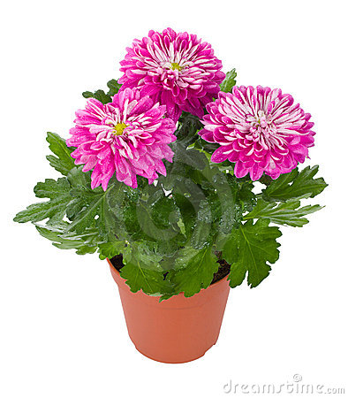 Wet pink chrysanthemum flowers in pot