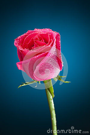 Wet pink rose on blue