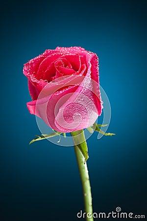 Free Wet Pink Rose On Blue Stock Image - 27867241
