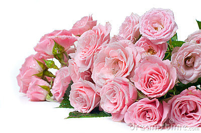 Wet pink roses on a white background