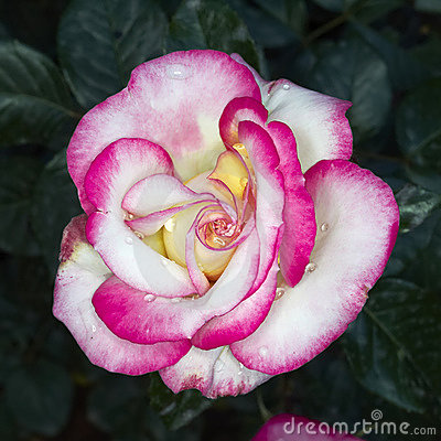 Wet pink and white rose  closeup