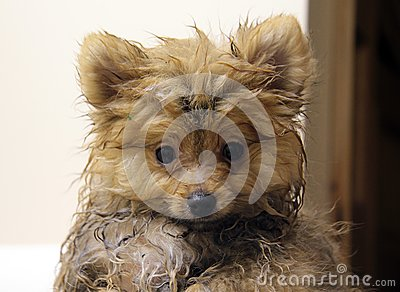 Wet Pomeranian Puppy