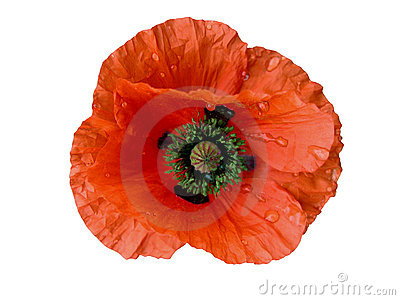 Wet Poppy-design element