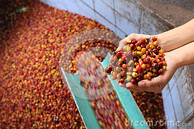 Wet Process of arabica coffee.