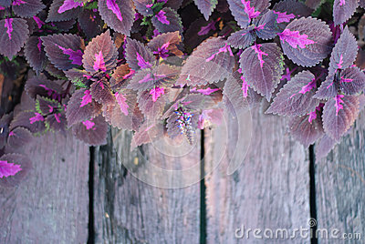 Wet purple leaf along the wood stair