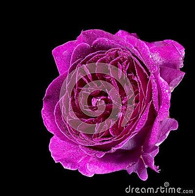 Wet purple rose flower
