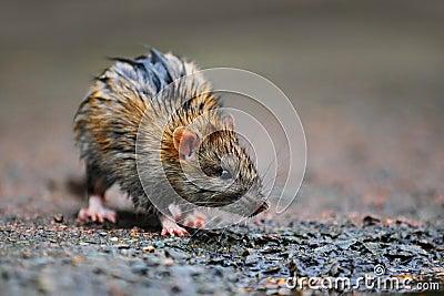Wet rat