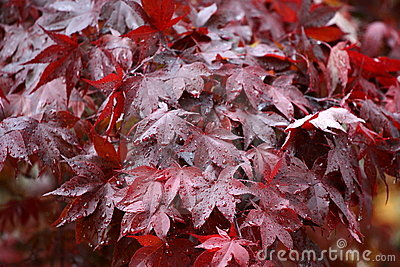 Wet Red Maple 1