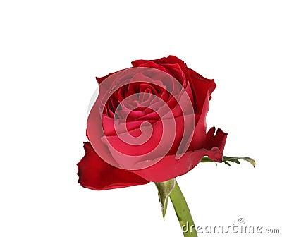 Wet red rose.