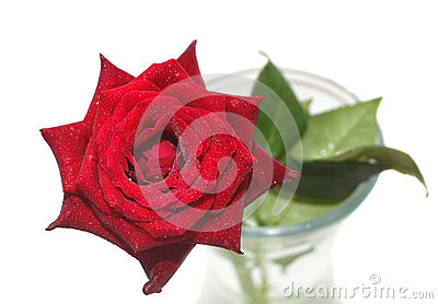 Wet red rose in vase isolated on white