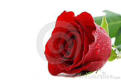 Wet red rose on white
