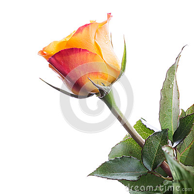 Wet red and yellow rose flower isolated