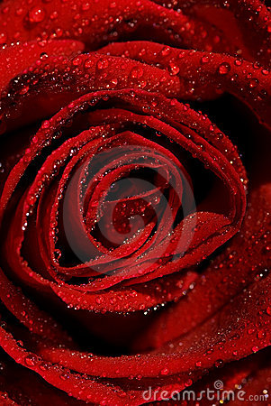 Free Wet Rose Stock Images - 4172064