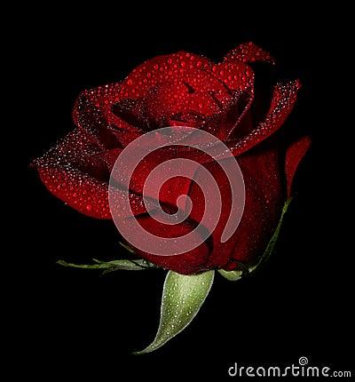 Wet rose on black
