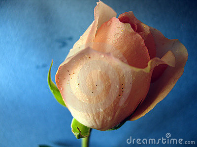 Wet rose on blue background