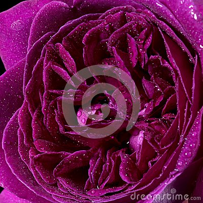 Wet rose flower closeup