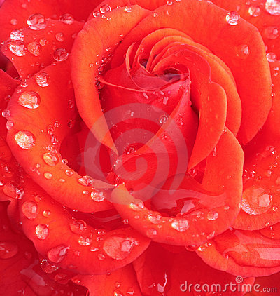 Wet rose head