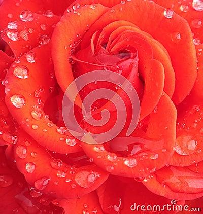 Wet rose head