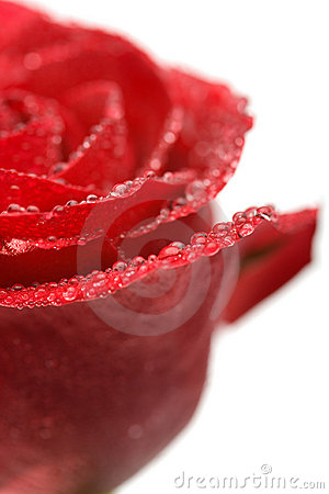 Wet rose isolated