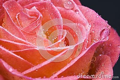 Wet rosebud