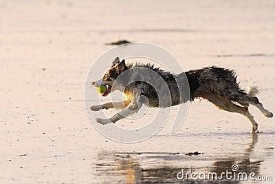 Wet running dog