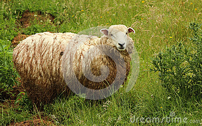 Wet Sheep