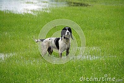 Wet Springer Spaniel