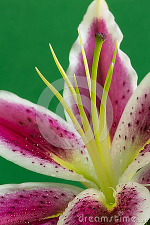 Wet Stargazer Lily Flower