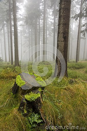 Wet stump in the woods