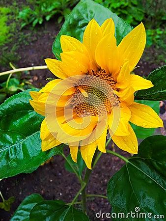 Wet sunflower