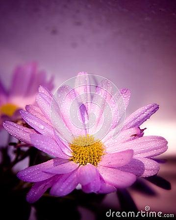 Wet violet flower
