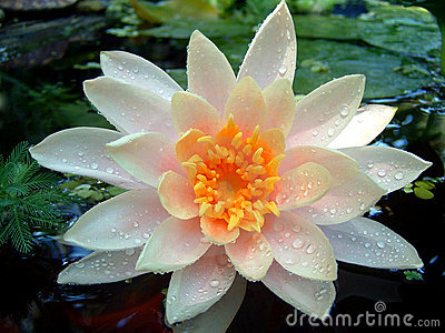 Wet Waterlily